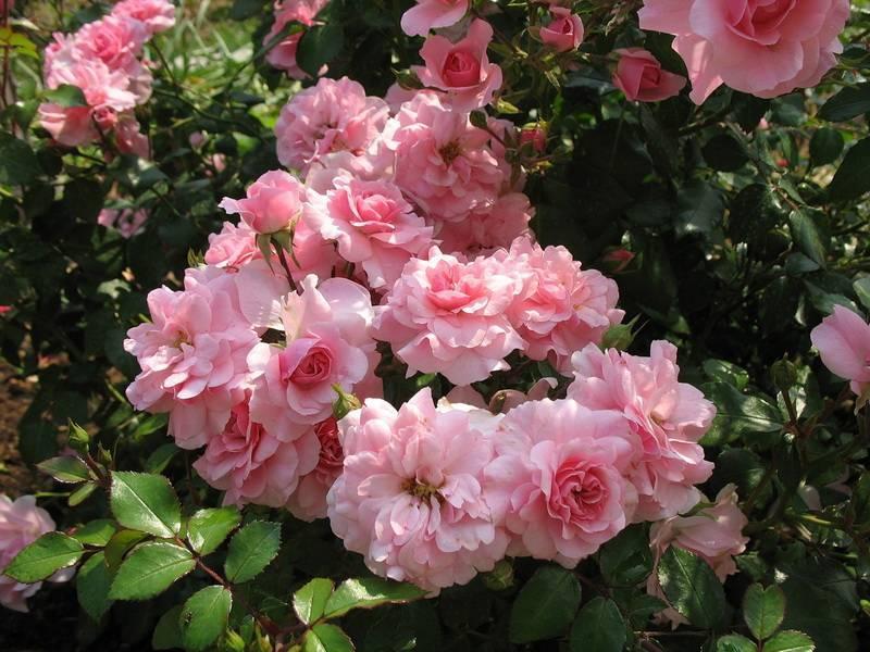 Роза боника: описание, особенности выращивания, уход и отзывы