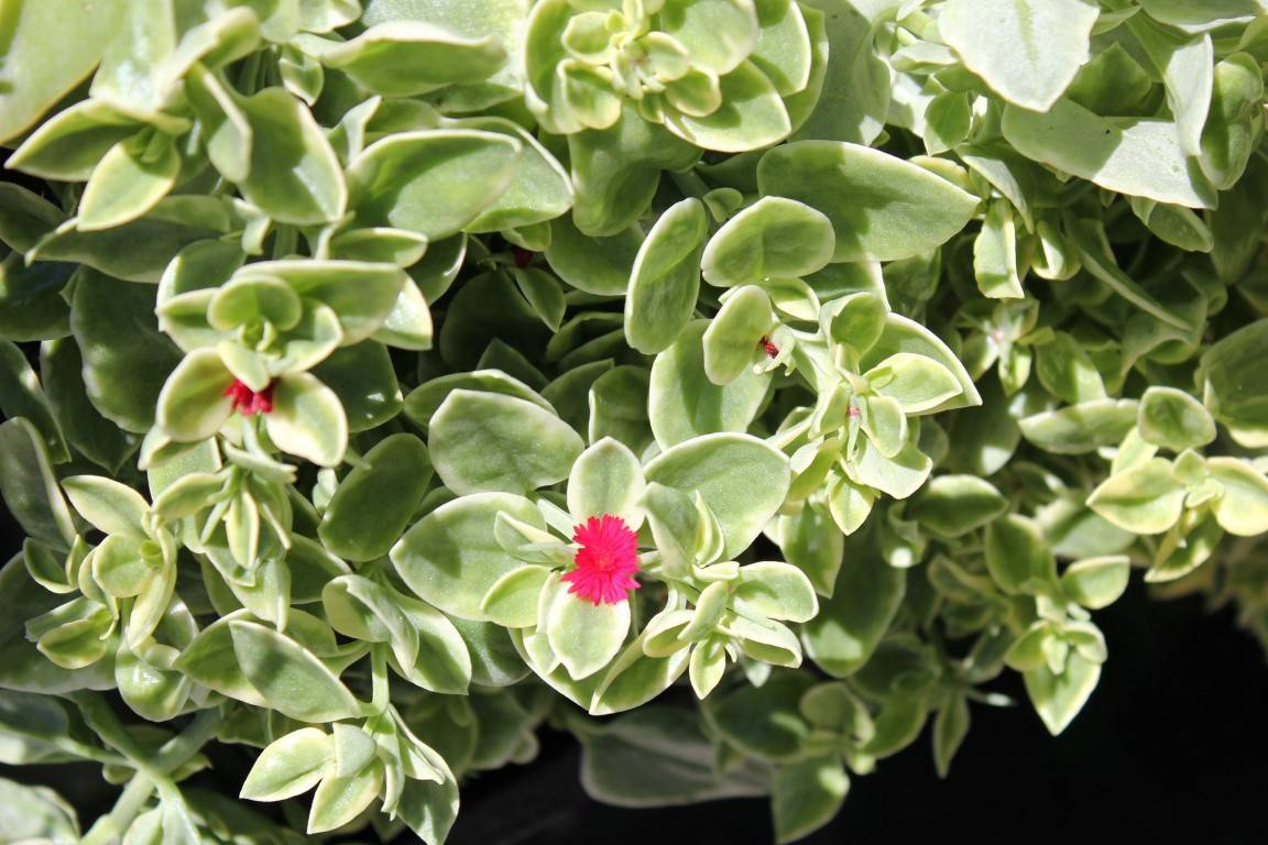 Аптения: уход, размножение, фото, посадка, выращивание, описание, болезни - читайте на орхис