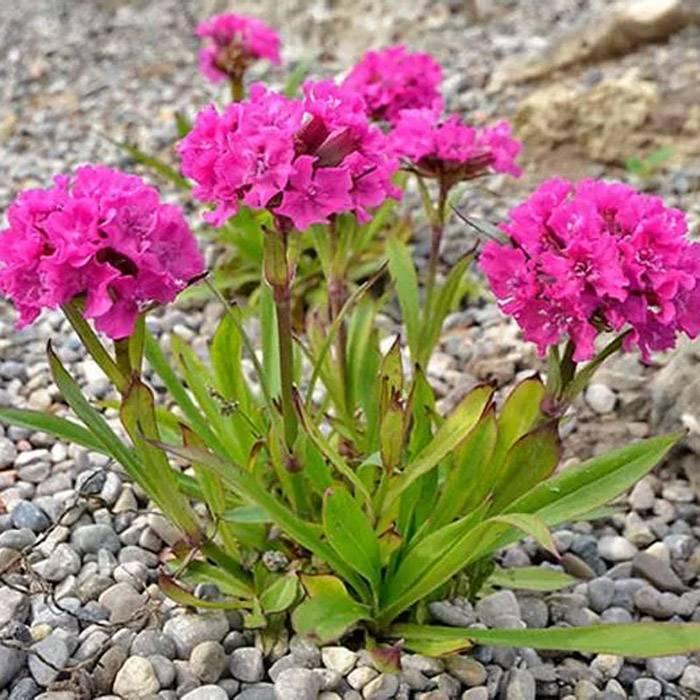 Лихнис халцедонский (27 фото): посадка и уход за зорькой обыкновенной, применение цветка в ландшафтном дизайне, выращивание из семян