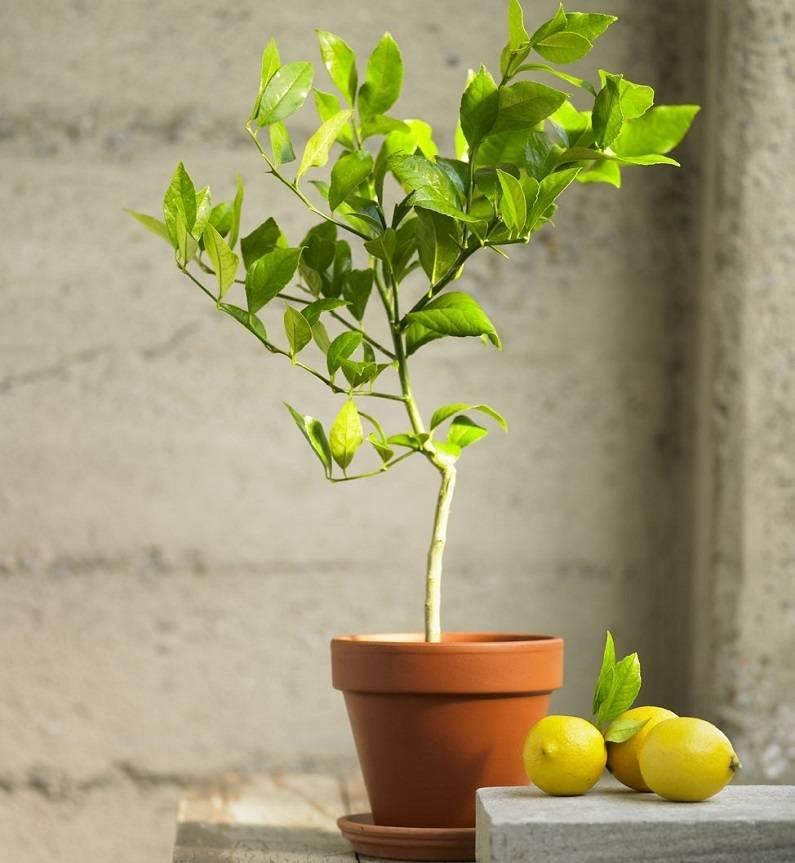 Лимонник китайский: выращивание в сибири