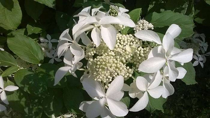 Цветок гортензия садовая: описание видов и сорта на фото