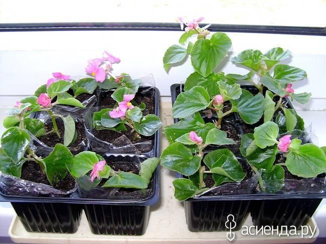 Посадка семян бегонии клубневой и секреты ухода: посев бегонии и выращивание в домашних условиях. когда лучше сеять? сколько всходят семена?