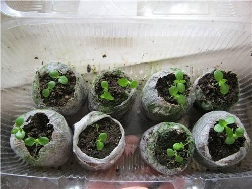 Как самостоятельно вырастить гортензию в открытом грунте?