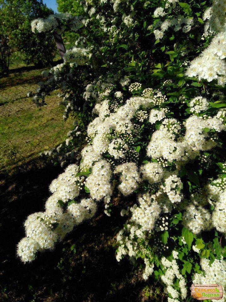 Топ-16 первоцветов среди кустарников и деревьев