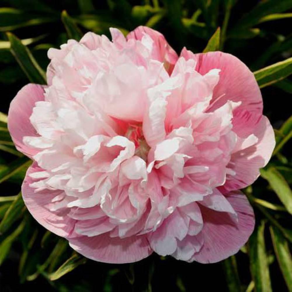 Описание травянистого пиона эдулис суперба: характеристики сорта, особенности цветка