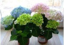 Почему не цветет гортензия — что делать, если садовый цветок дает только листву