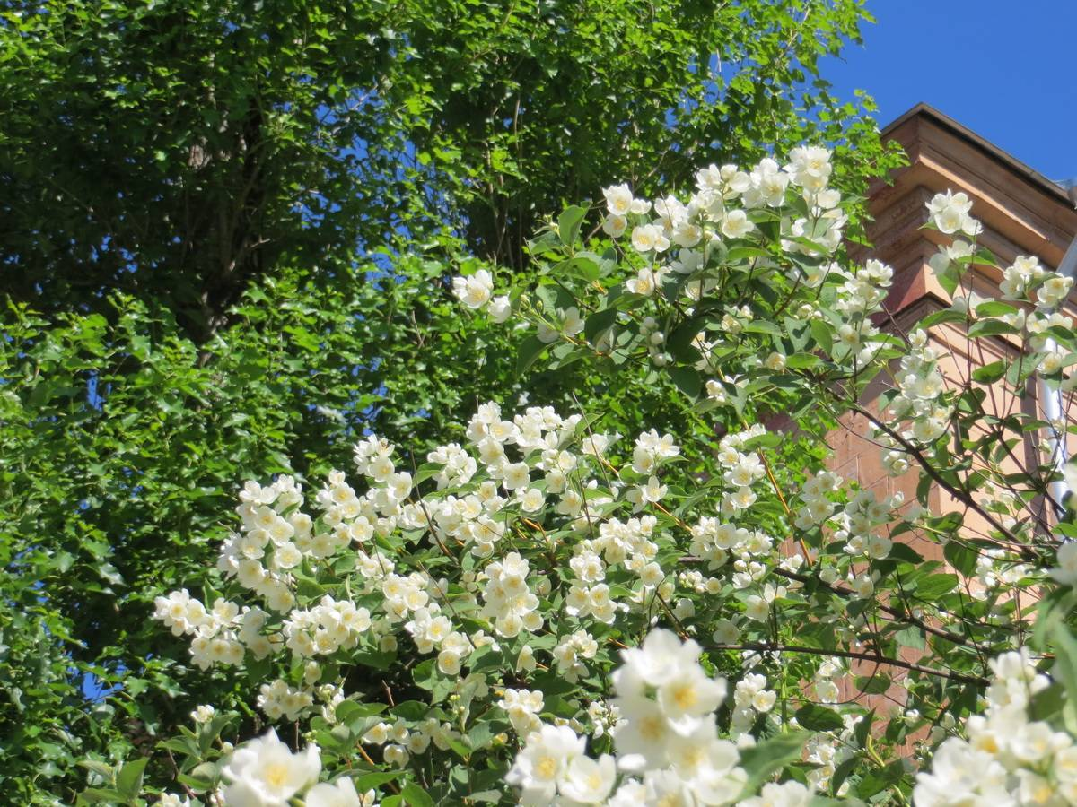 Как и когда цветет жасмин: фото и особенности ухода за цветком