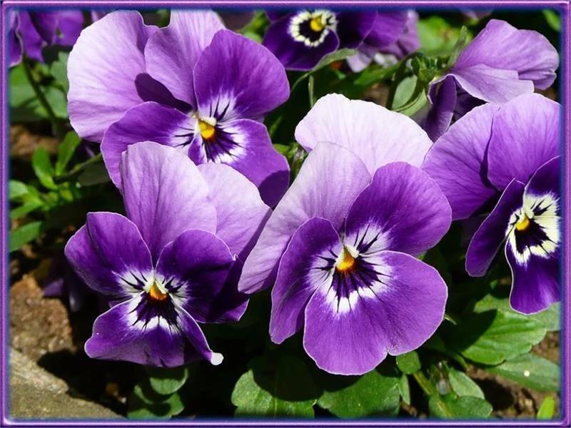 Цветок виола: описание однолетних и многолетних сортов