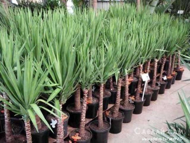 Размножение юкки в домашних условиях: как ее размножить семенами и черенками пошагово? как рассадить комнатную «пальму»?