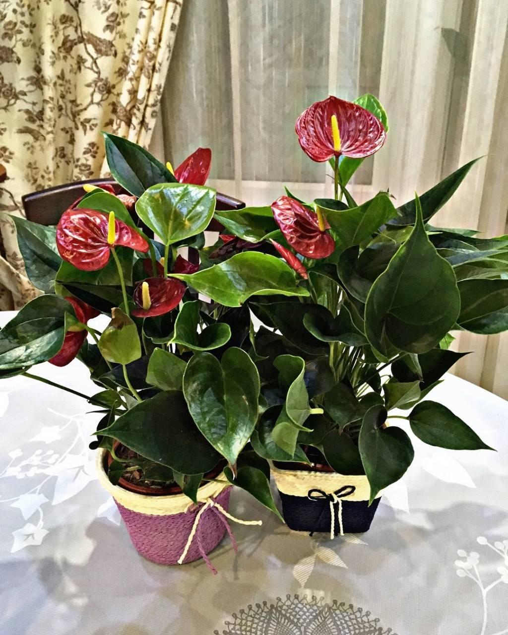 Цветы спатифиллум и антуриум — мужское и женское счастье вместе