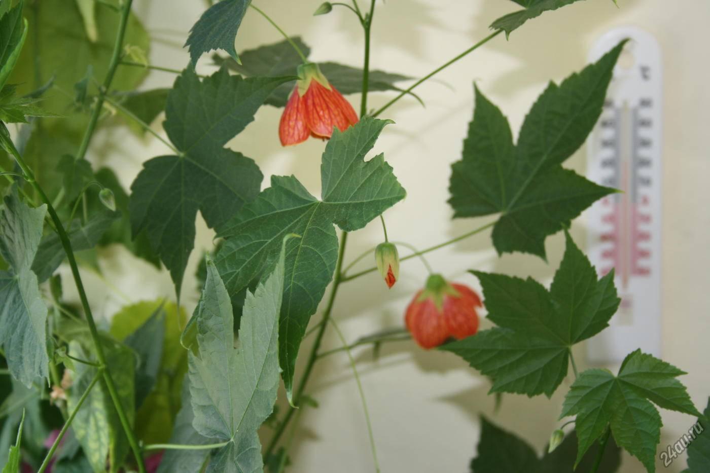 Абутилон: описание растения, особенности выращивания и ухода в домашних условиях