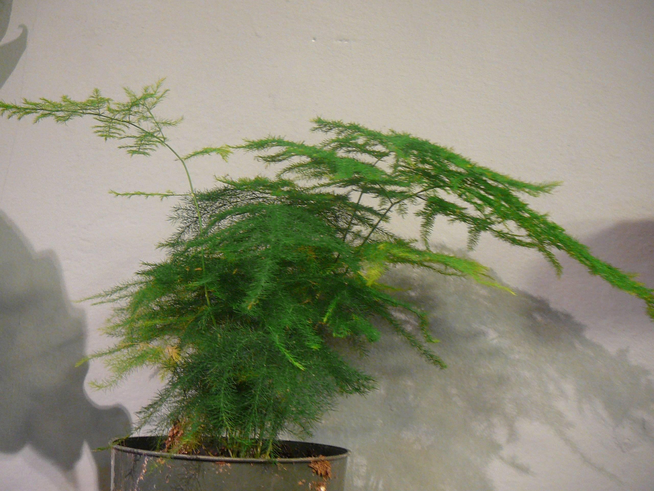 Аспарагус шпренгера (24 фото): уход в домашних условиях, правила выращивания аспарагуса из семян. обрезка густоцветкового аспарагуса и способы его размножения