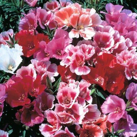 Цветок годеция: выращивание из семян и когда его сажать