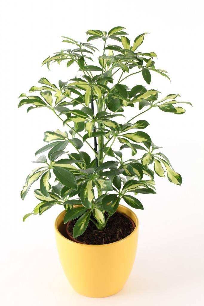 Неприхотливая шеффлера: правила ухода за комнатным растением в домашних условиях