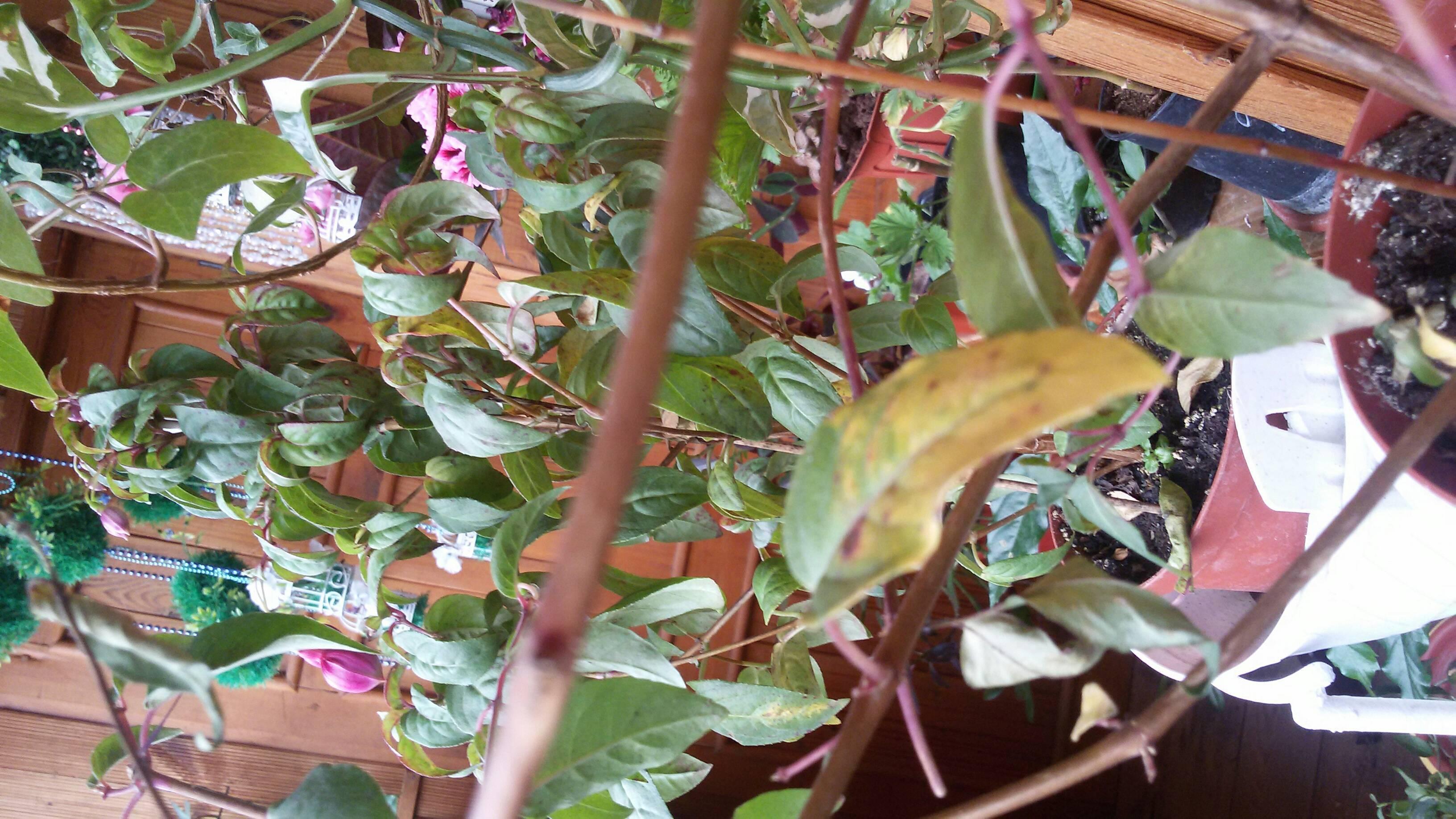 Почему у гортензии скручиваются листья и заворачиваются внутрь