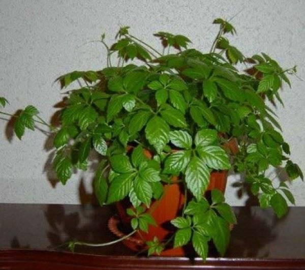 Циссус (38 фото): уход за комнатным виноградом в домашних условиях, виды цветка с названиями четырехугольный и ромболистный, антарктический и стриата. почему у растения сохнут листья?