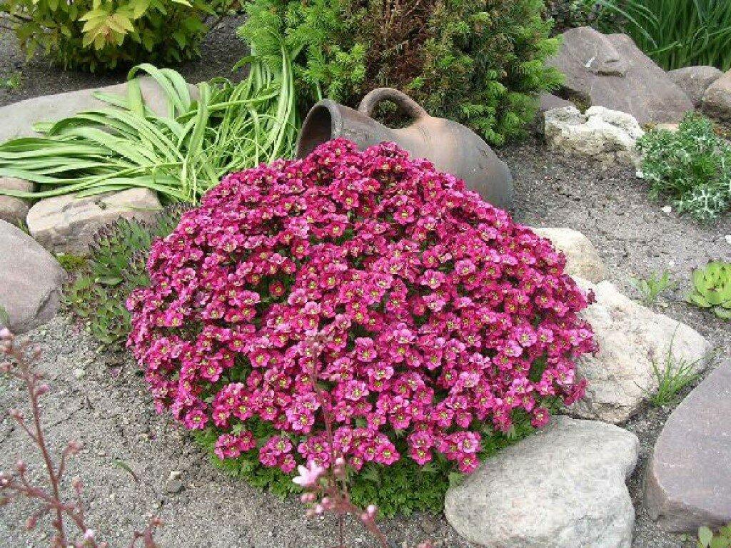 Мыльнянка (сапонария): посадка и уход в открытом грунте, фото, выращивание из семян