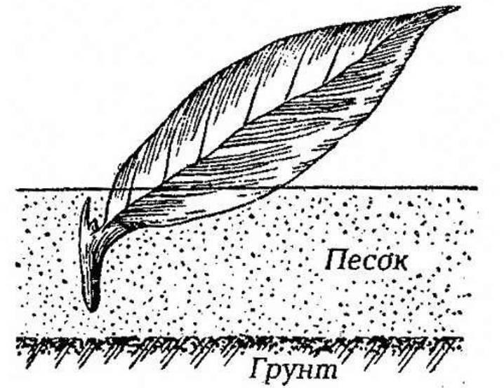 Способы размножения многолетних флоксов