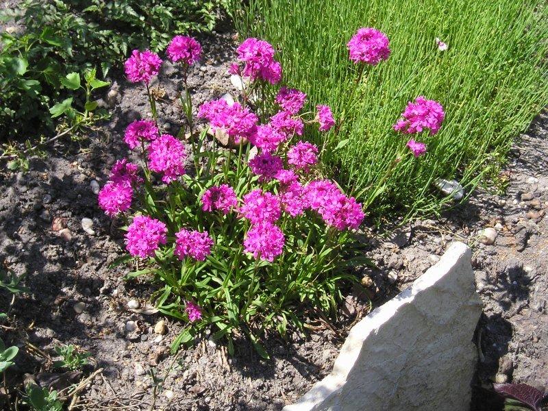 Лихнис корончатый (33 фото): посадка и уход в открытом грунте, atrosanguinea и другие многолетние цветки малиновой и других расцветок