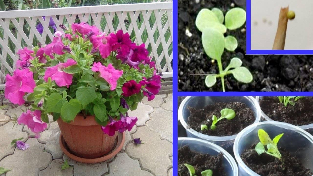 Петуния: многолетнее растение или нет, а также как помочь цветку перезимовать, каким образом за ним ухаживать?