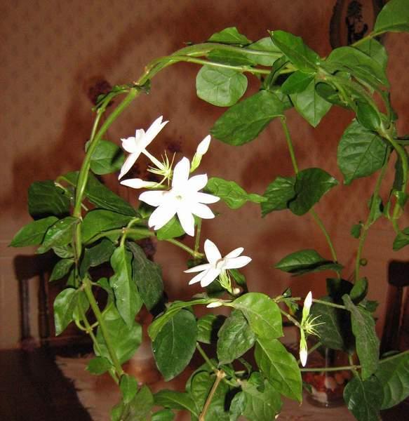 Как ухаживать за жасмином в домашних условиях? фото цветка