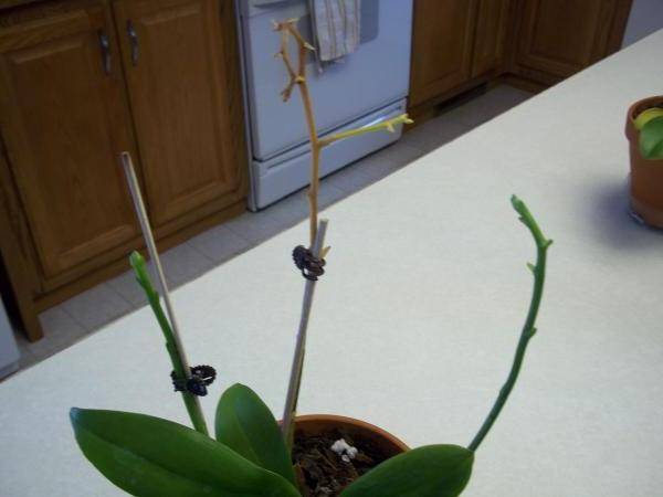 Правильная обрезка цветоноса орхидеи в домашних условиях