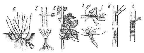 Прививка розы, шиповника на шиповник: как, когда и для чего прививать
