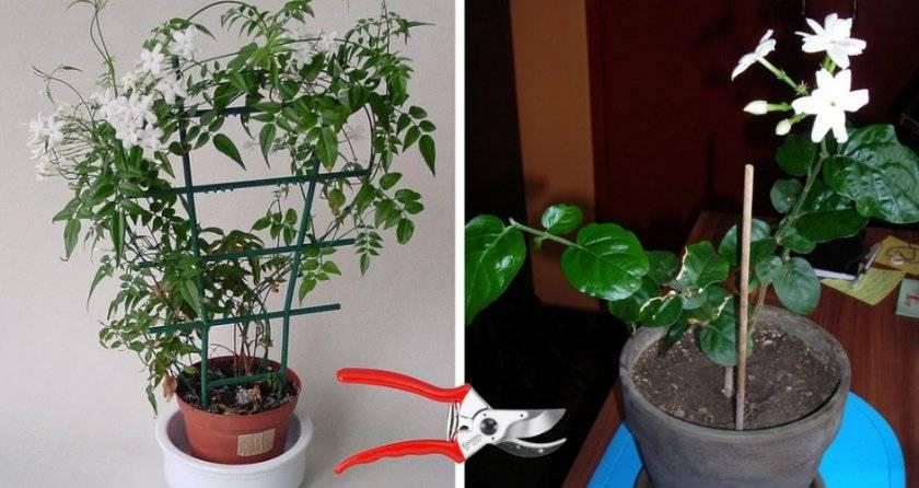 Жасмин - уход в домашних условиях, виды с фото, размножение, проблемы в выращивании