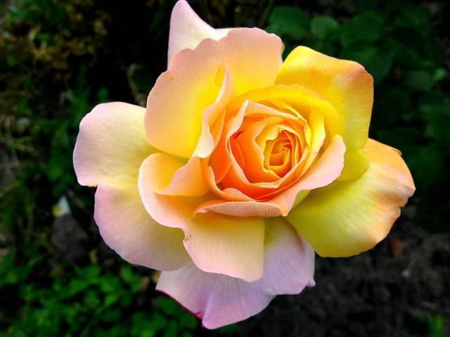 Выращивание роз в горшках - тонкости комнатного цветоводства   о розе