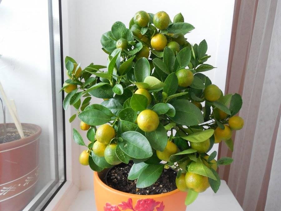Как ухаживать закаламондином: способы получить ароматные цитрусовые плоды