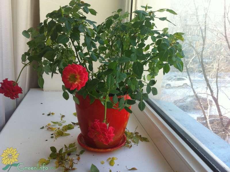 Почему не цветет бальзамин комнатный: причины и секреты по уходу, а также что делать, если в домашних условиях растут только листья и не распускаются бутоны?