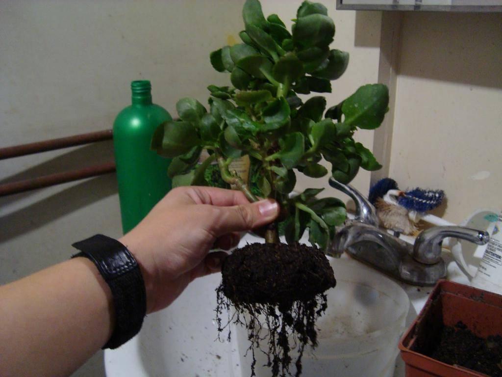 Как пересадить каланхоэ — какой грунт и горшок нужны