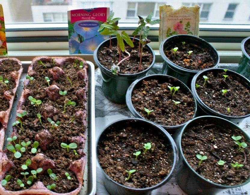 Гибискус из семян в домашних условиях: как посадить и вырастить красивую китайскую розу?