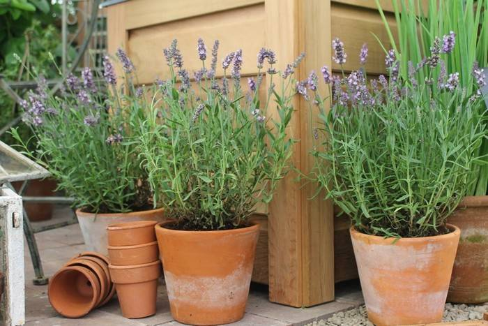 Выращивание лаванды из семян: как пересаживать и размножать кустарник