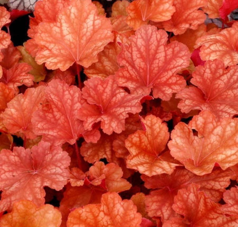 Цветок гейхера посадка и уход в открытом грунте размножение сорта гейхер с фото и названием
