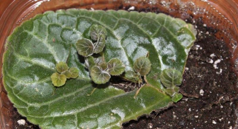 Глоксиния скручиваются листья