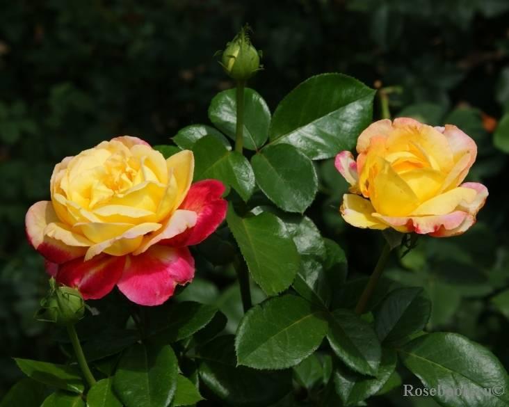 О розе pullman orient express: описание и характеристики сорта чайно-гибридной розы
