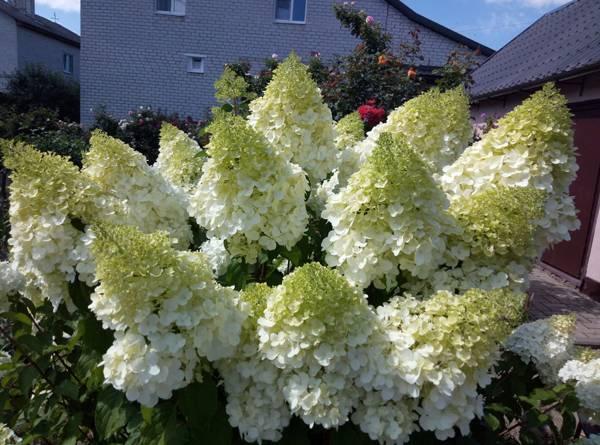 Все о сроках цветения гортензии садовой