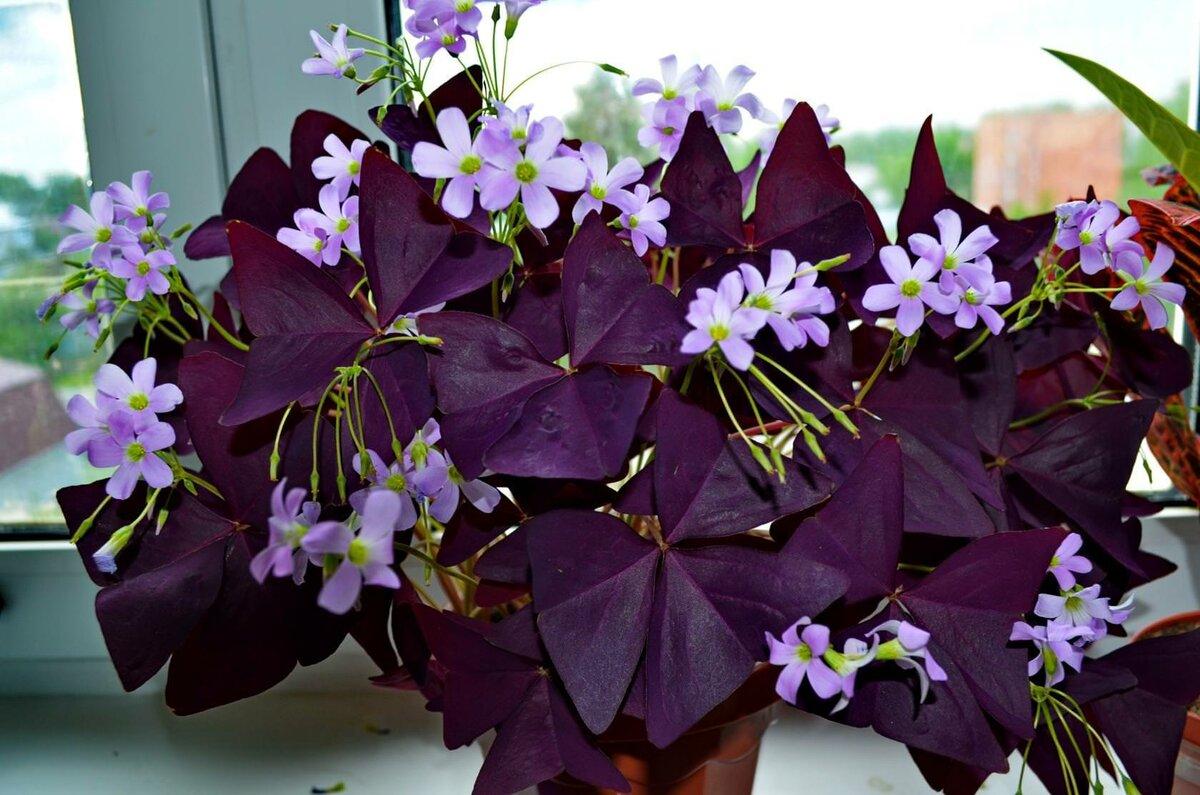 Как называется цветок с фиолетовыми и зелено-фиолетовыми листьями