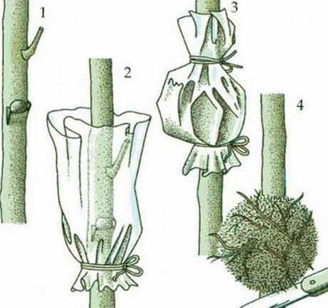 Способы размножения хавортии: как пересадить, какой грунт и горшок должны быть?