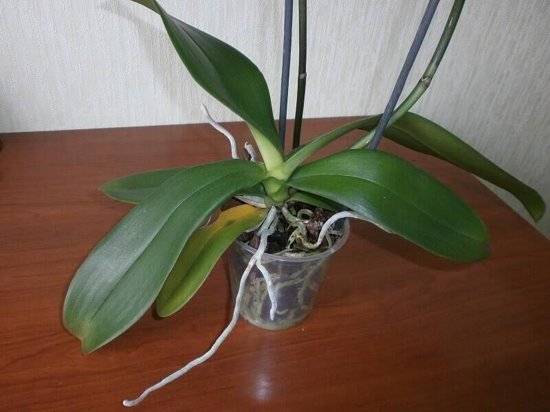 Стрелка орхидеи: как выпускает побег, фото, как он выглядит и как отличить от корня, также как ухаживать, если растение дало цветонос и что делать, если он сломался?