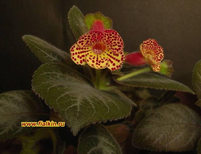 Виды цветка колерия — уход в домашних условиях