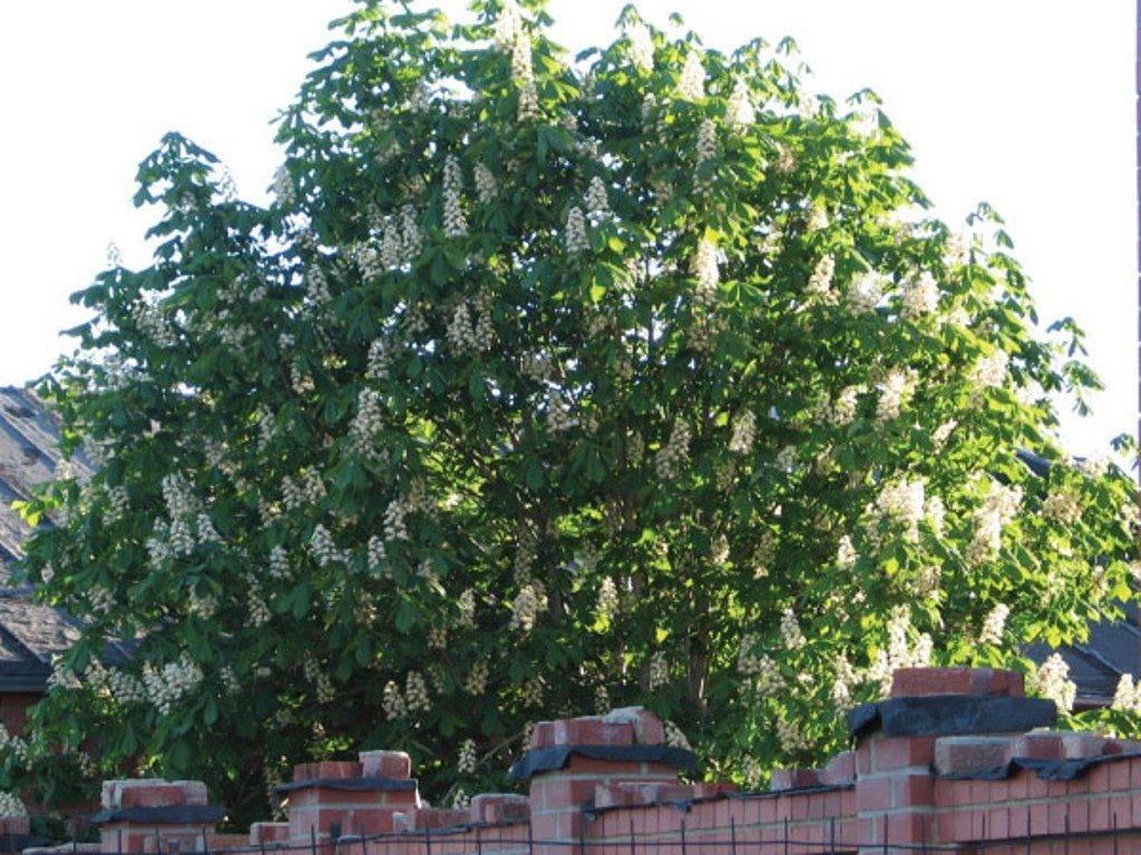 Каштан: виды, посадка, выращивание и уход за деревом