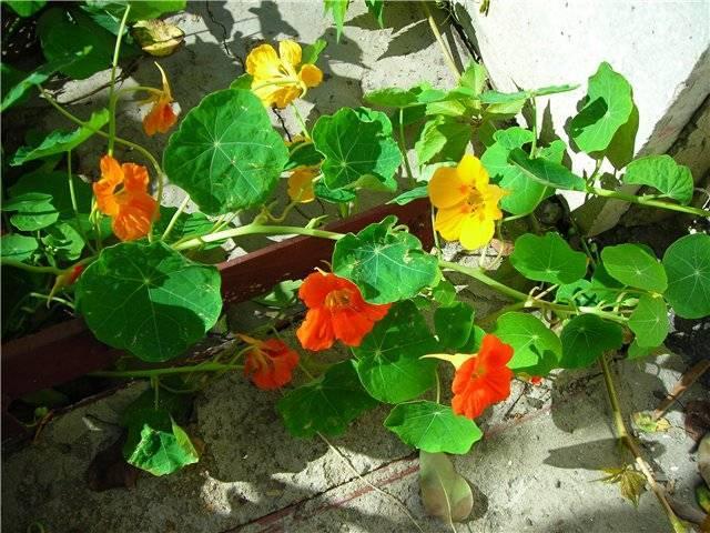 У адениума желтеют листья: разные болезни, почему сохнут кончики