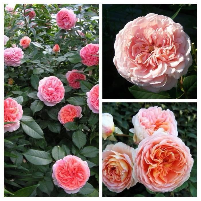Роза абрахам дерби (abraham darby): описание сорта парковой английской розы, посадка и уход