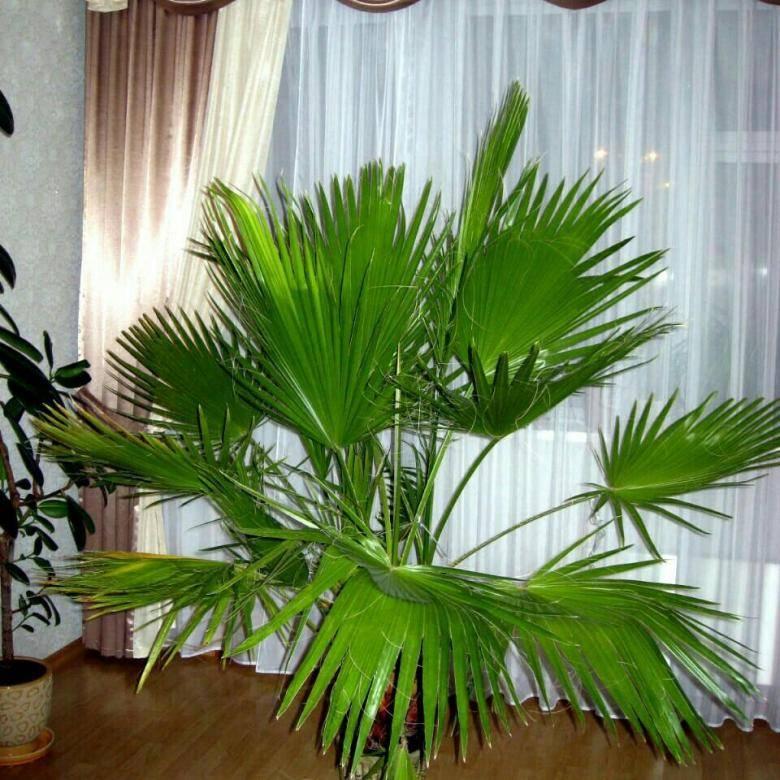 Пальма вашингтония - уход в домашних условиях, выращивание из семян