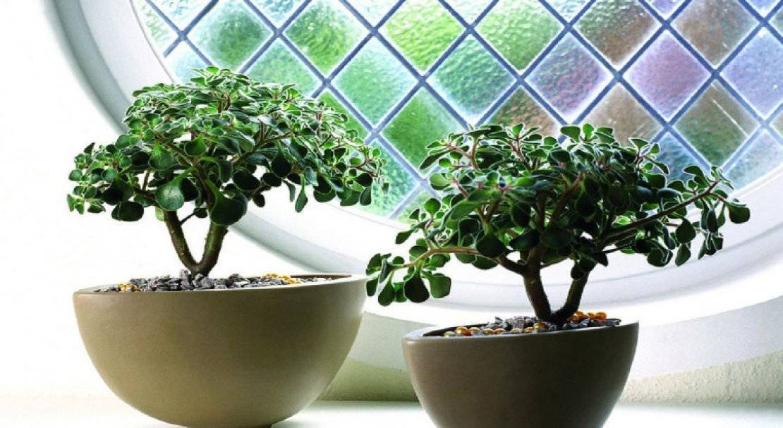 Дерево любви в вашем доме: уход за аихризоном в домашних условиях