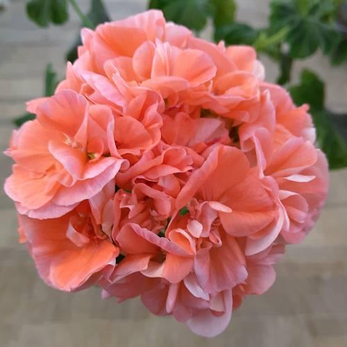Пеларгония dovepoint — описание, посадка и уход
