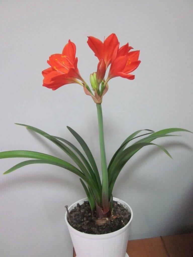 Валлота или циртантус: выращивание прекрасной лилии в домашних условиях