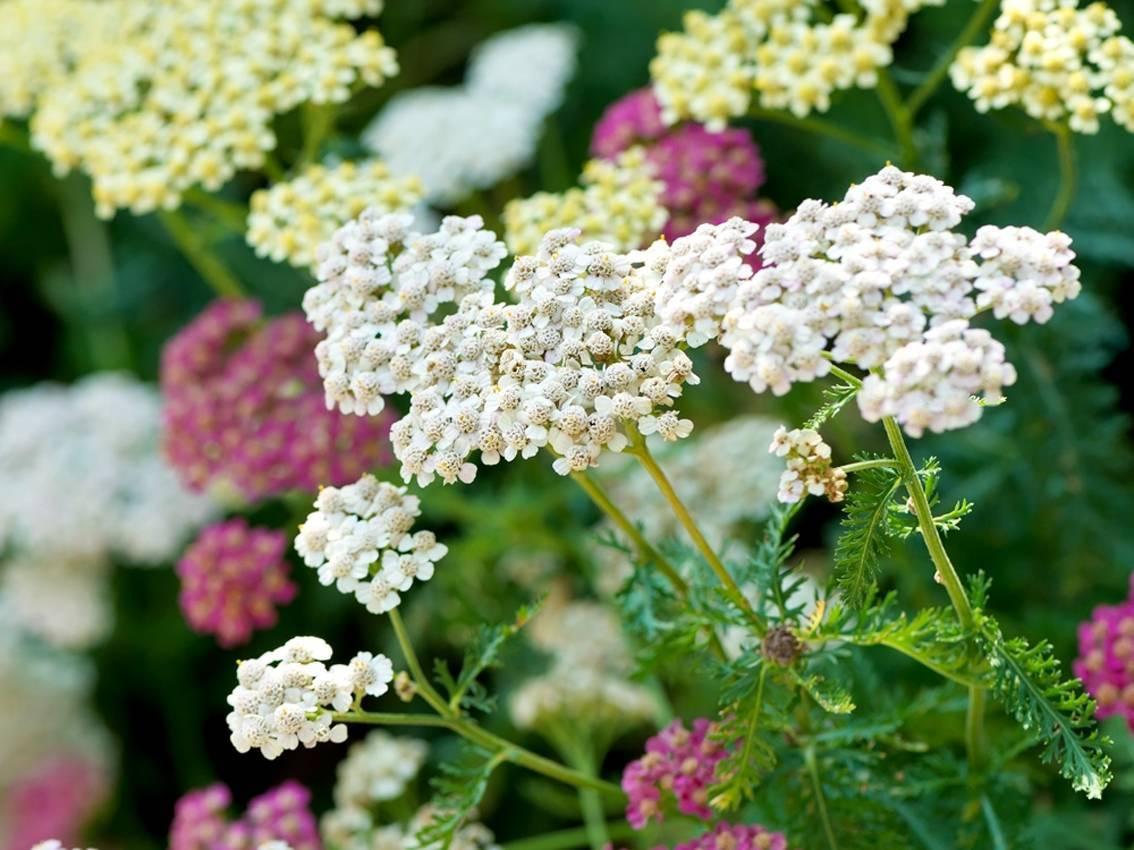 Агротехника выращивания ибериса многолетнего в открытом грунте: посадка семян, цветение